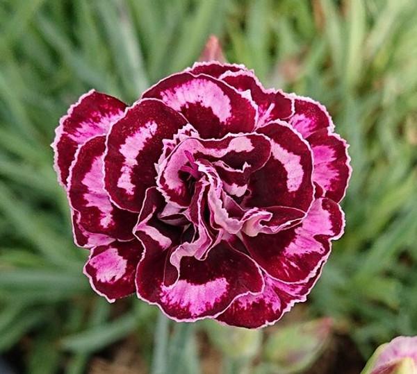 Dianthus 'Francis Isobel'
