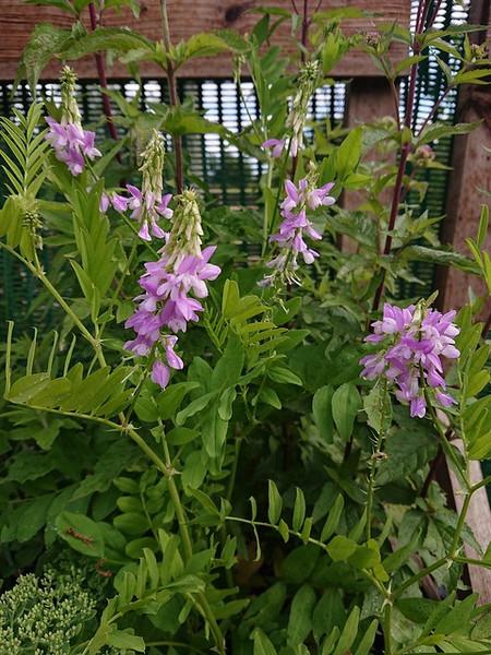 Astragalus pelecinus