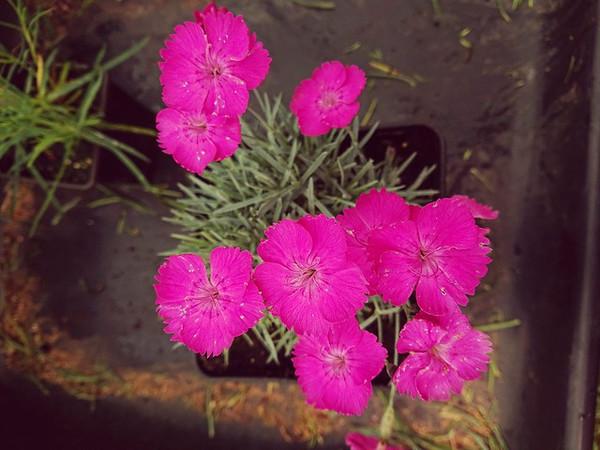 Dianthus 'Whatfield Magenta'