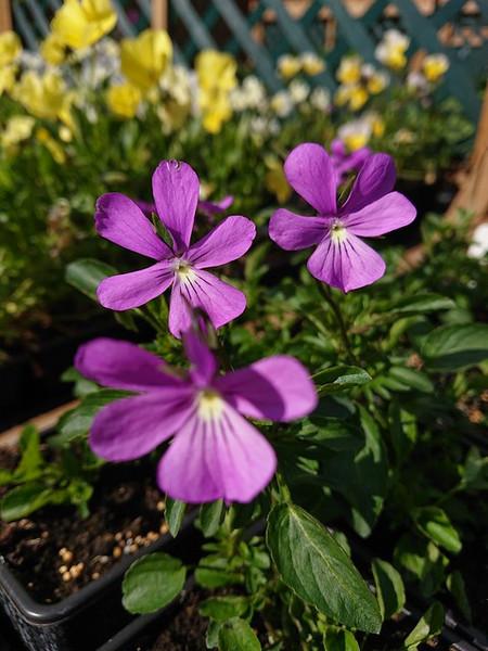 Viola cornuta 'Victoria Cawthorne'