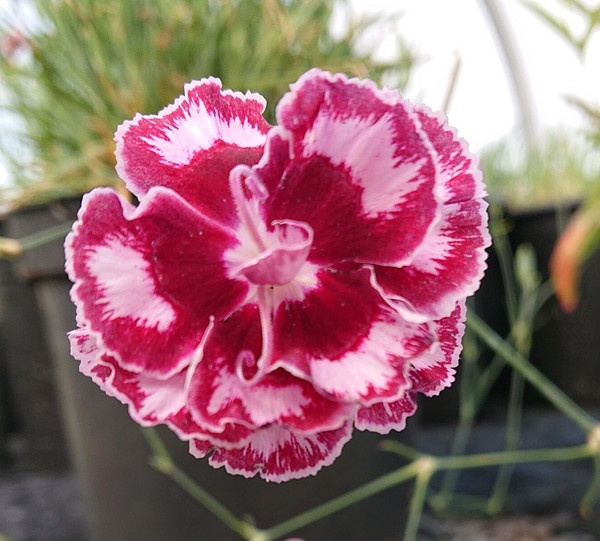 Dianthus 'Laced Romeo'