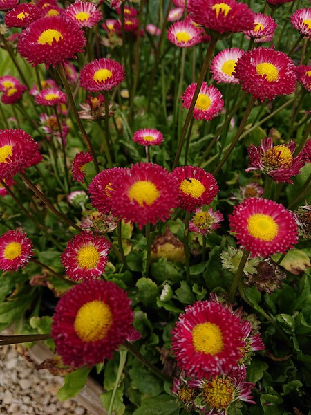 Bellis perennis 'Rob Roy'
