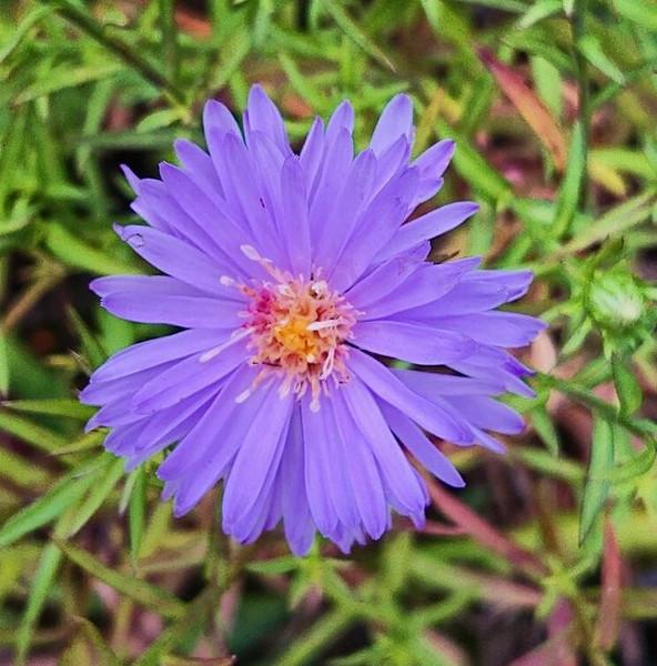 Aster novi belgii 'Blauglut' (Symphyotrichum)