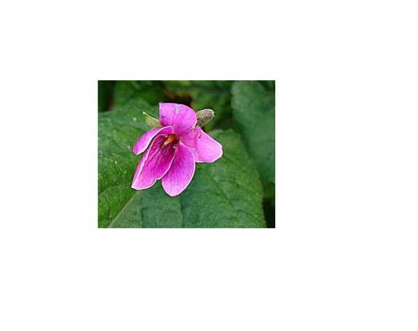 Viola odorata 'Rubra'