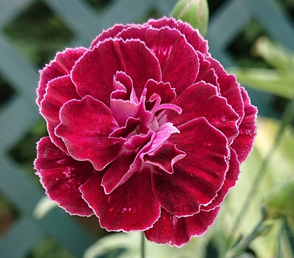 Dianthus 'Laced Treasure'