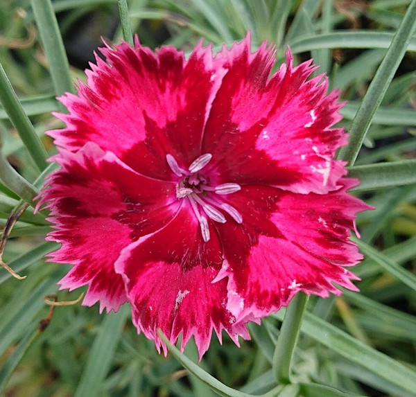 Dianthus 'Ma's Choice'