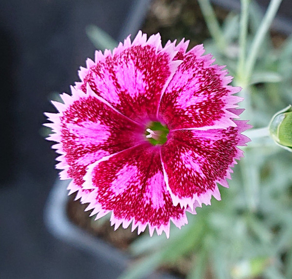 Dianthus 'Gold Dust'