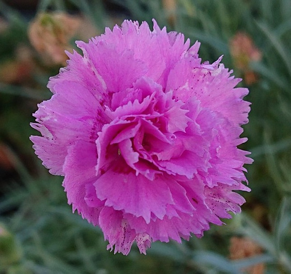 Dianthus 'Whatfield Cancan'