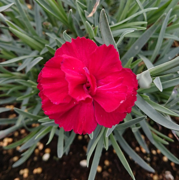 Dianthus 'Fusilier'