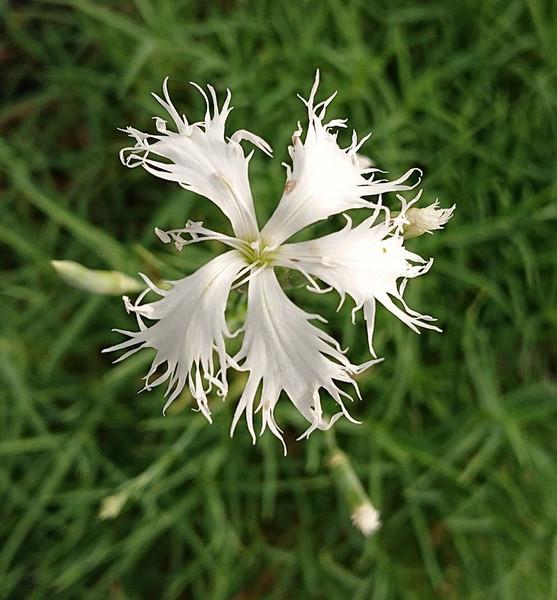 Dianthus lumnizeri