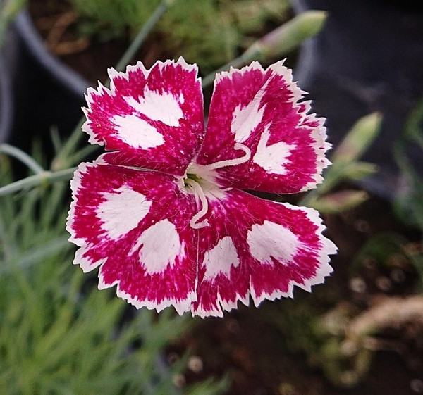 Dianthus 'Sops in Wine 2'