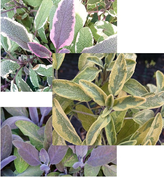 Trio of Sage (Salvia officinalis)