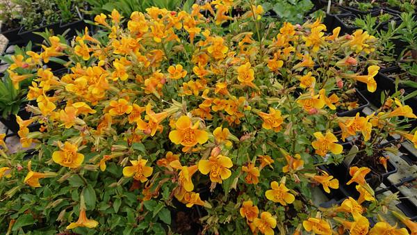 Mimulus 'Orange Glow' (Monkey flower)