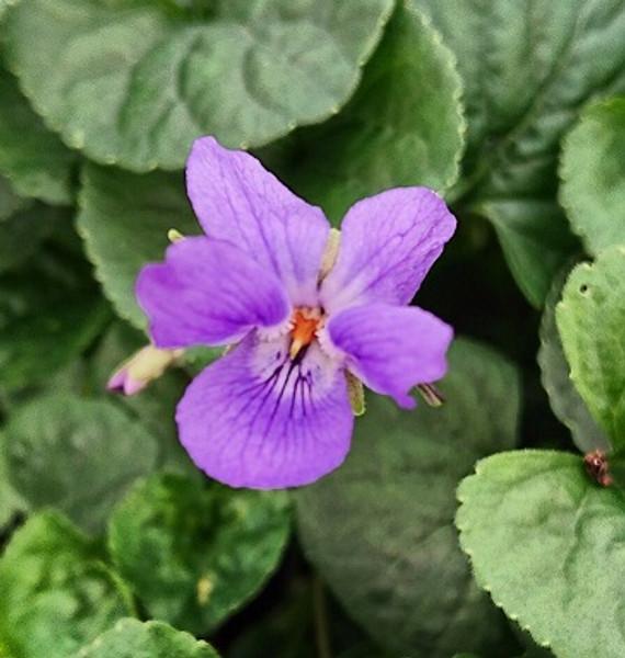 Viola odorata 'Queen Charlotte'