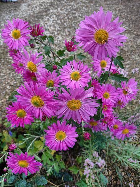 Chrysanthemum 'Mavis Smith'