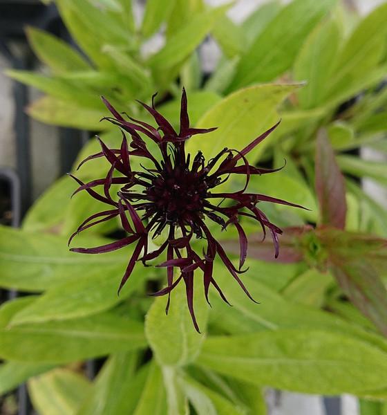 Centaurea montana 'Black Sprite'