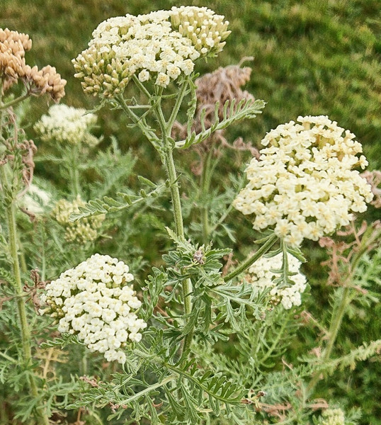 Achillea nobilis subsp. neilreichii