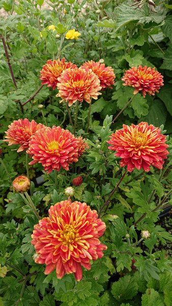 Chrysanthemum 'Rumpelstilzchen' from Shire Plants