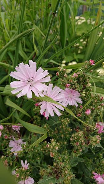 Cichorium intybus f. roseum (Pink Chicory)