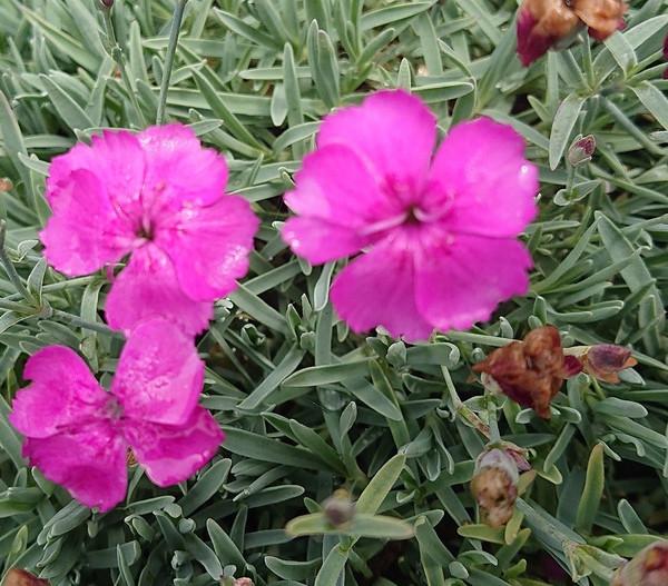Dianthus 'Babi-Lom'