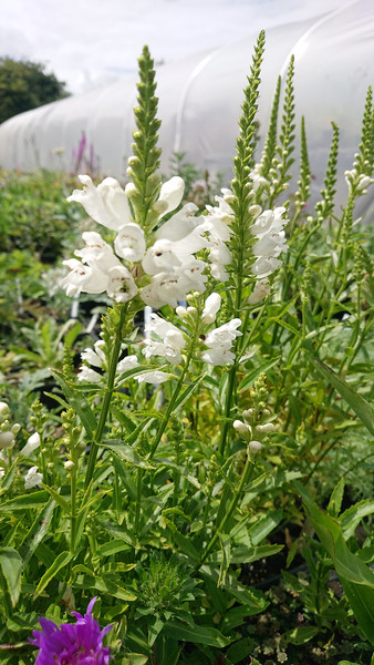 Physostegia virginiana 'Crown of Snow'