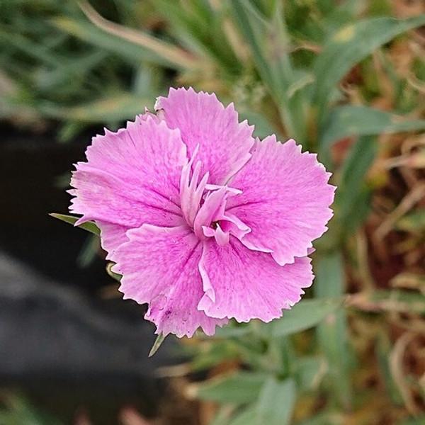 Dianthus 'Fettes Mount'