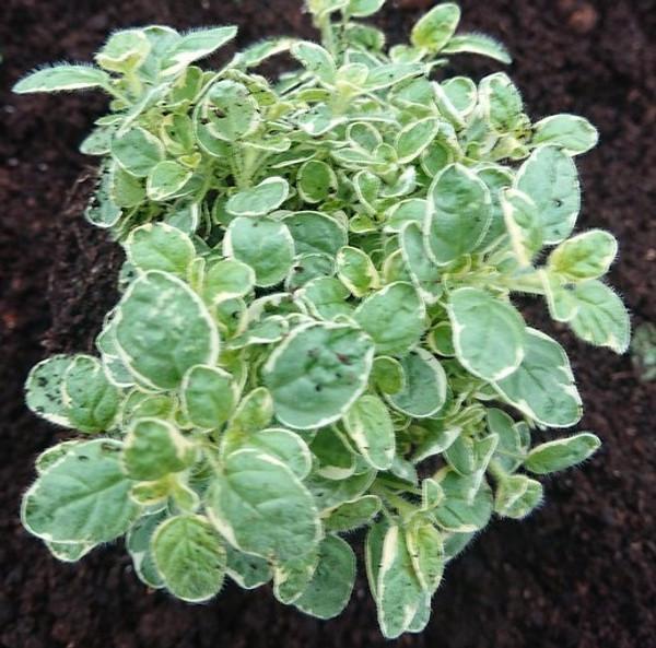 Origanum vulgare 'Country Cream'