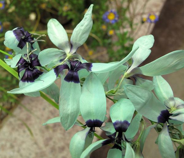 Ixia viridiflora 'Green Jade'