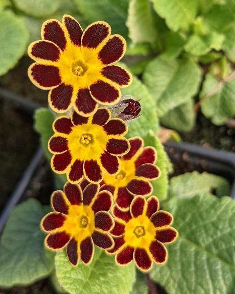 Primula 'Gold Lace'