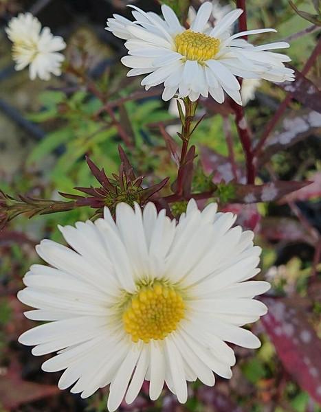 Aster novi-belgii 'White Ladies' (Symphyotrichum)