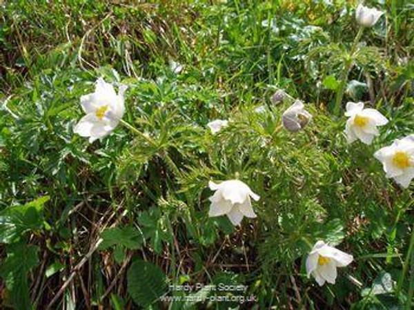 Pulsatilla vulgaris 'Pearl Bells'