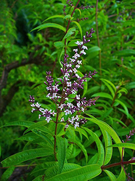 Aloysia citrodora (Lemon Verbena)