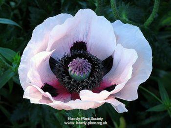 Papaver orientale 'Choir Boy' (syn: 'Royal Wedding')