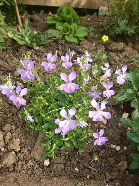 Viola cornuta minor