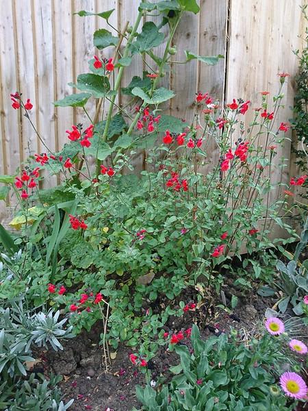 Salvia greggii 'Red Swing'