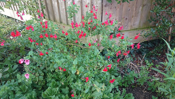 Salvia greggii 'Red Swing'