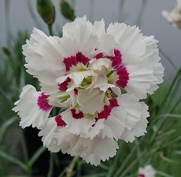Dianthus 'Bridal Veil'