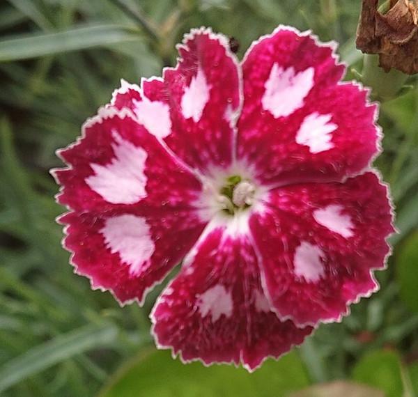 Dianthus 'Waithman's Beauty'