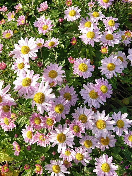 Chrysanthemum 'Innocence'