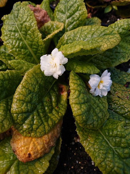 Primula vulgaris 'Alba Plena'