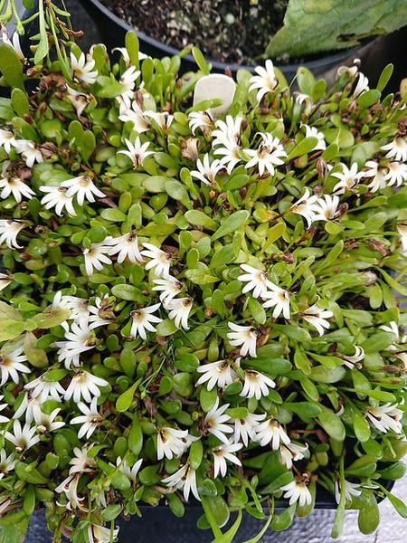Selliera radicans (Bonking Grass)