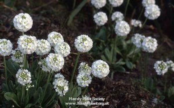 Primula denticulata var. alba
