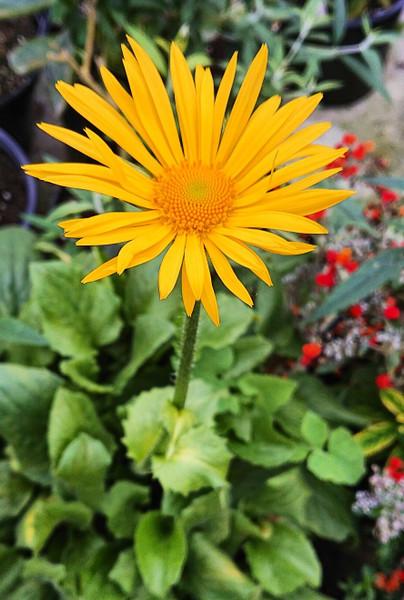 Doronicum x excelsum 'Harpur Crewe'