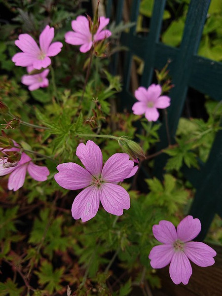 Geranium endressii