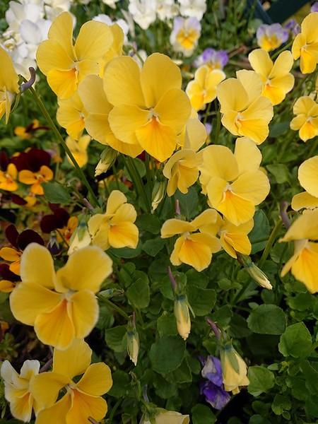 Viola 'Glenholme'