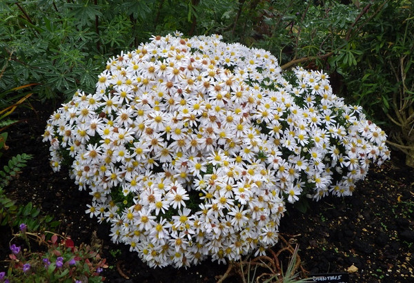 Aster novi-belgii 'Snow Cushion' ('Schneekissen')