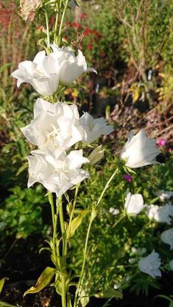 Campanula persicifolia 'Alba Coronata'