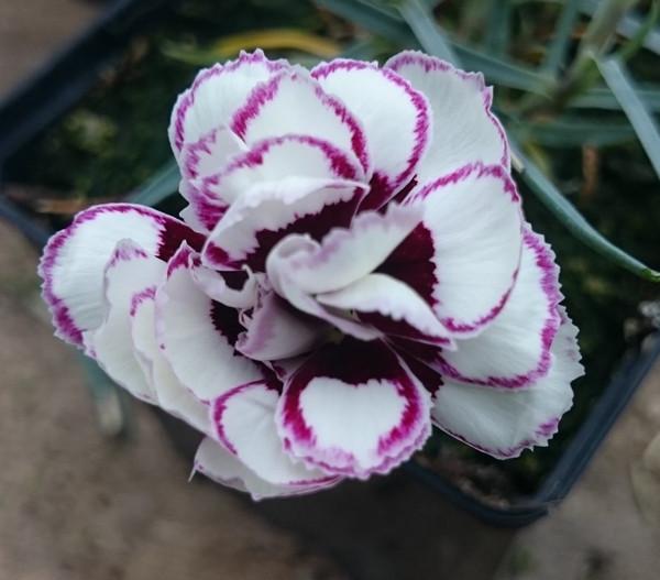 Dianthus 'Paisley Gem'