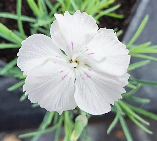 Dianthus 'Whatfield White'
