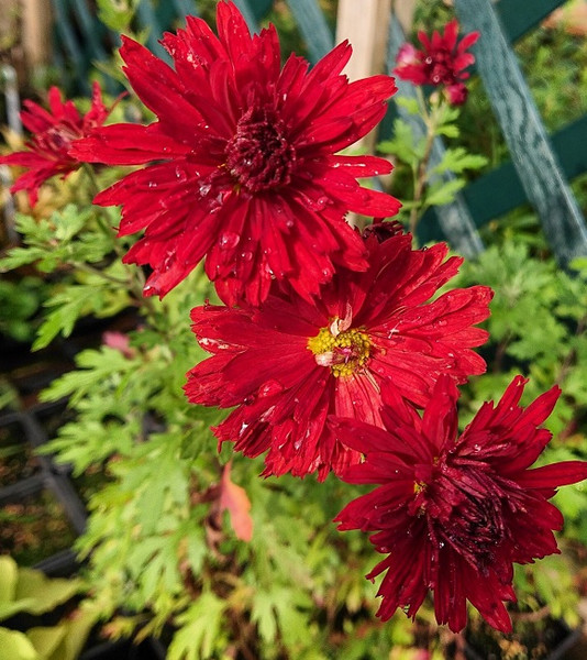 Chrysanthemum 'Duchess of Edinburgh'